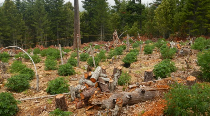 The Emerald Triangle, America's Top Pot-Growing Region