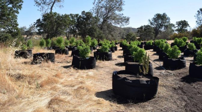Calaveras County Suffering with Illegal Pot Grows